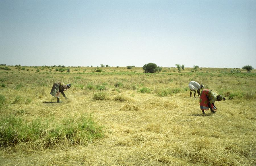 <p>Harvesting Wild Rice, Dakoro, Niger, mid Nov 2001. This rice, locally called <em>jan kai</em> (red head) in Hausa may be either <em>Oryza barthii </em>or <em>O. longistaminata</em> (though I suspect the former). In this particular locality, the start date for harvesting is controlled by the village chief. I unfortunately missed this colourful event three weeks earlier, but is resource control institution analogous to the <em>tongo </em>regime described by Freudenberger et al. (1997) in the Gambia, Guinea and Sierra Leone.</p>