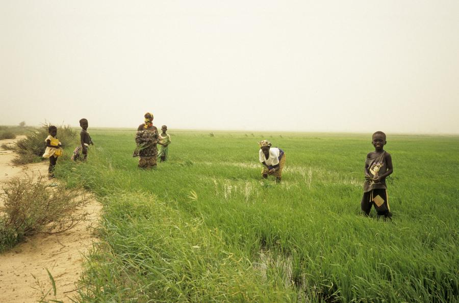 <p>Irrigated Rice Field, Ouro-Madiou, northern Senegal, early Sept 1997, i.e. the rainy season crop. The Diama barrage (completed 1986) theoretically enabled a second dry season crop but this hadn't been done since 1994 (credit was one issue). I think a patch is being replanted here after the broadcast seeds failed. Out-planting from a small nursery is an alternative, apparently higher yielding method but was only done on c. 15% of local fields because of its high labour demands.</p>