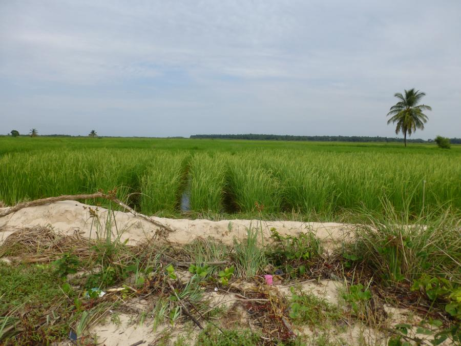 <p>Left bank of the Rio Nuñez, near Kamsar, Guinea, November 2013. The inhabitants of this region, here the Baga Sitem, have been adapting rice technology to the micro-environments of the coast for about a 1000 years (Fields-Black, 2008). In the foreground can be seen flotsam on the estuarine beach: the rice fields behind have been hewn from the original mangrove vegetation. Through the use of earthen bank enclosures, probably dug with fulcrum shovels, the fertile soil is desalinated through skilful water control.</p>