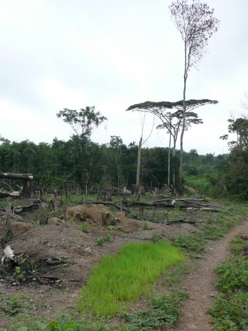 <p>Swamp Rice Nursery in an Upland Rice Field, Nimba, Liberia, early July 2008. This interesting movement between two rice environments may be an adaptation to labour coordination constraints between the upland and swamp farms. There may however also be seedling growth advantages from the nutrient flush after burning the upland farm.</p>