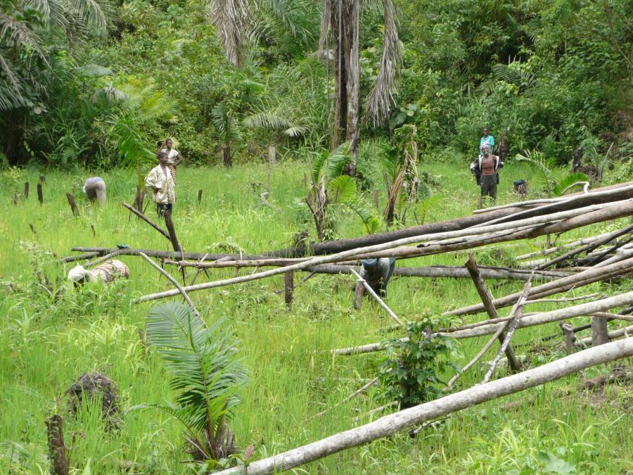 <p>Traditional Swamp Rice Farming, Nimba, Liberia, early July 2008. These swamps, in which there is no water control, are often, as in this case, at the bottom of the slope of the upland farm. Generally speaking higher priority for the deployment of household labour is given to the upland rice farm in this area, but individual household situations differ.</p>